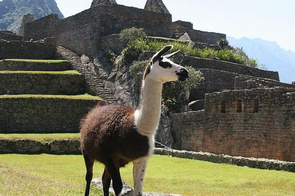 Lama machu picchu rondreis Peru