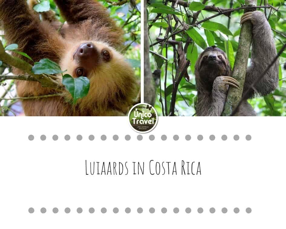 Luiaards in Costa Rica