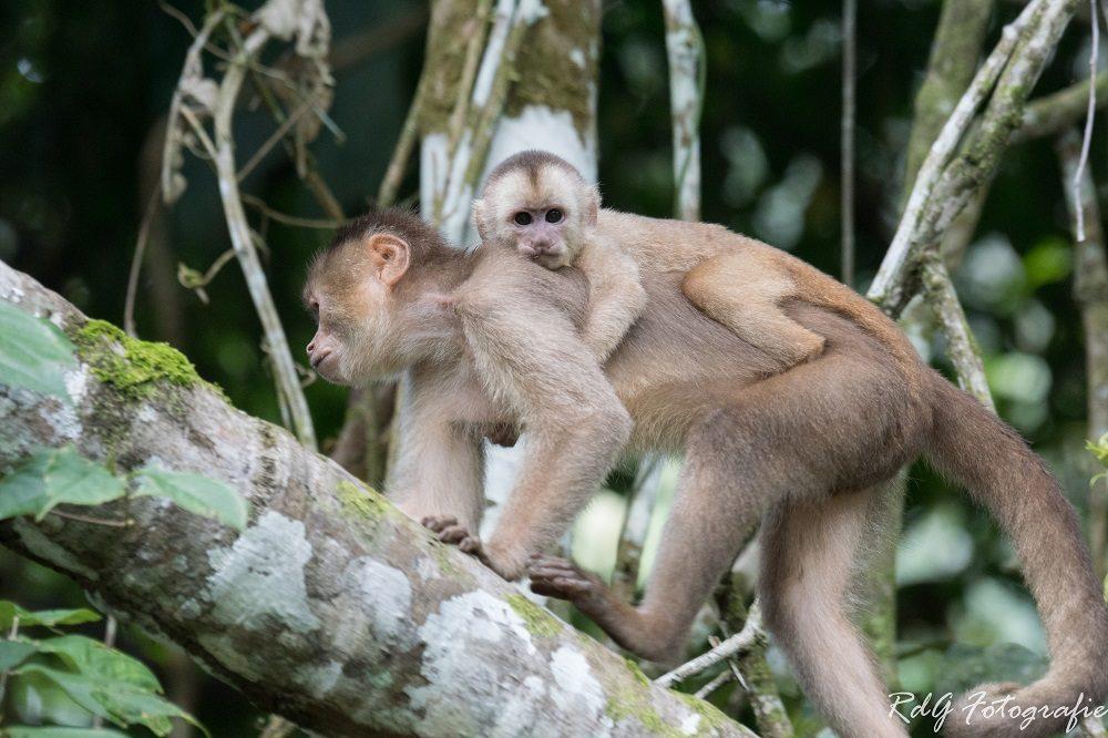 Luxe reis Ecuador Amazone moederaap en babyaap