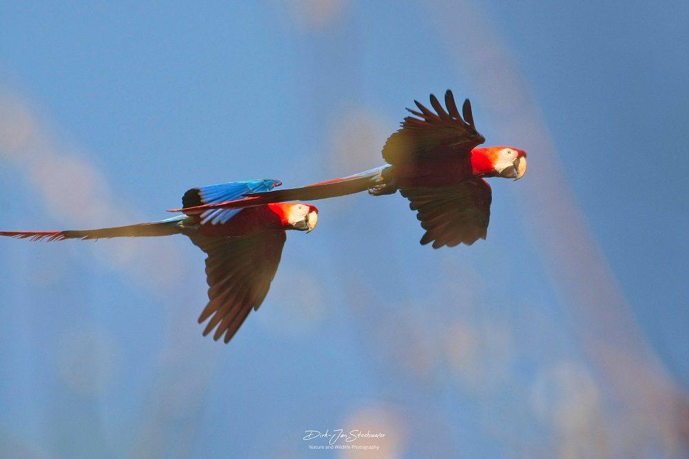 Red and Green Macaws Pantanal fotoreis