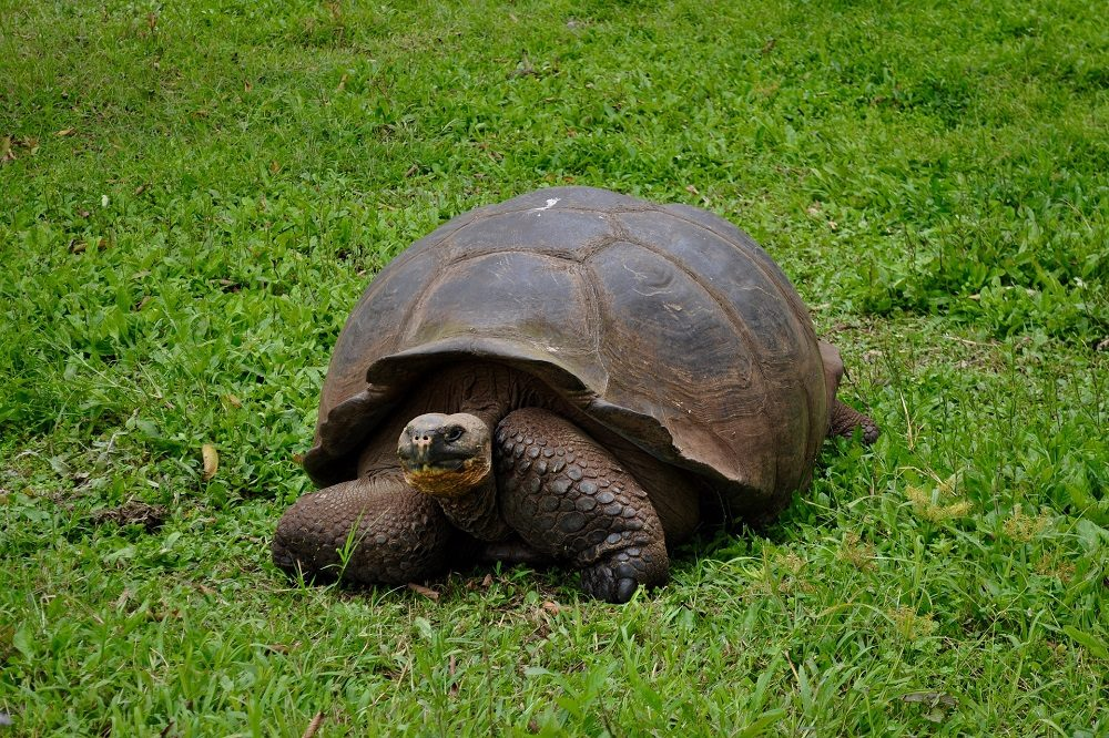 Reuzenschildpad Galapagos