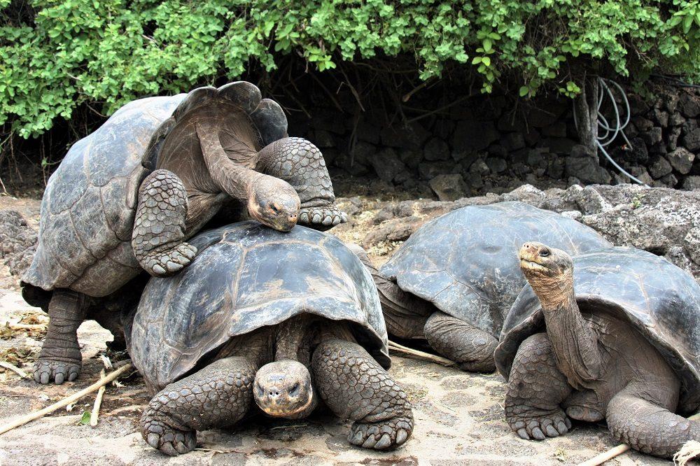 Reuzenschildpadden Galapagos