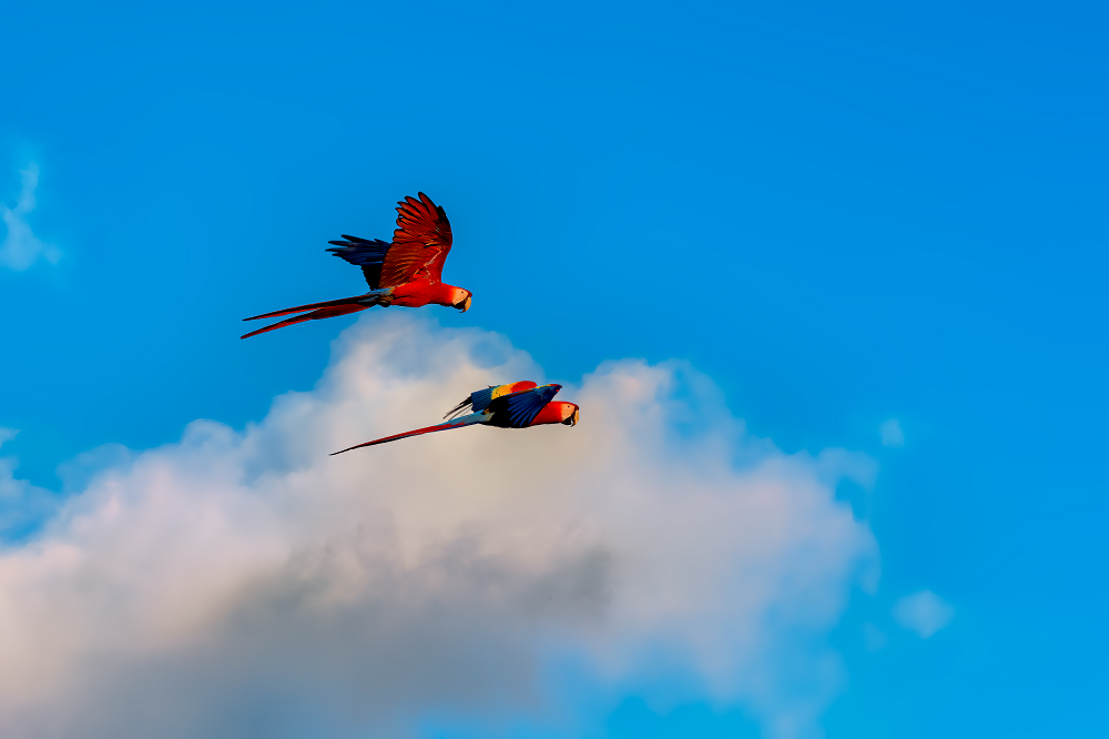 Scarlet Macaw aras Las Guacamayas Biological Station