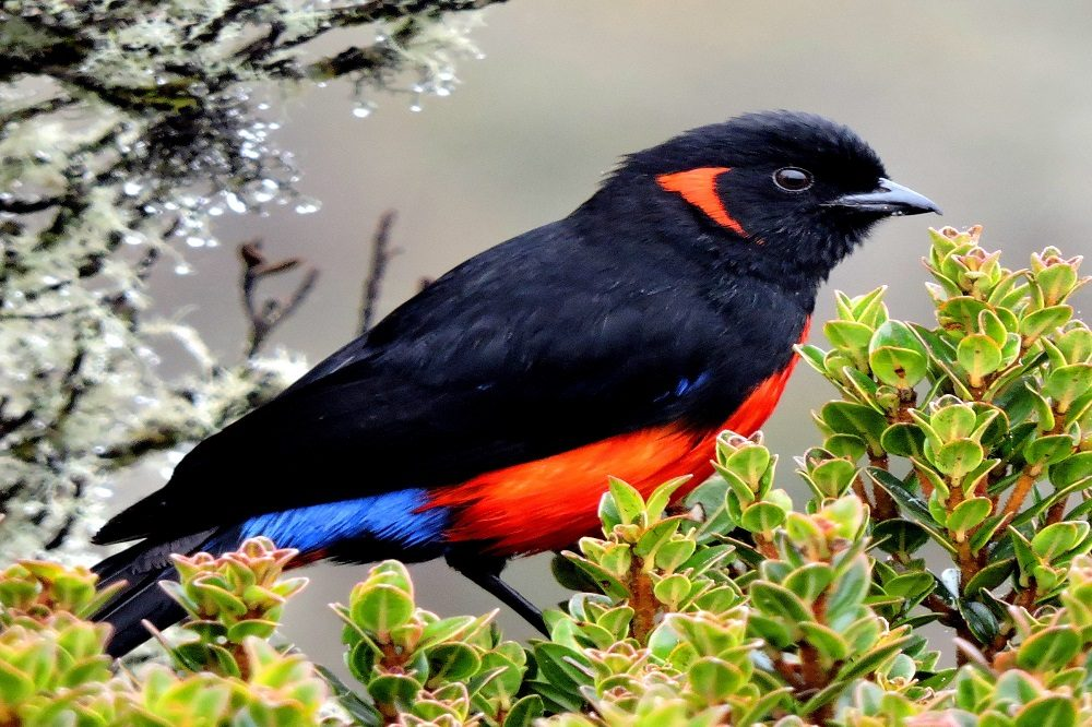 Scarlet bellied Mountain Tanager - Chingaza