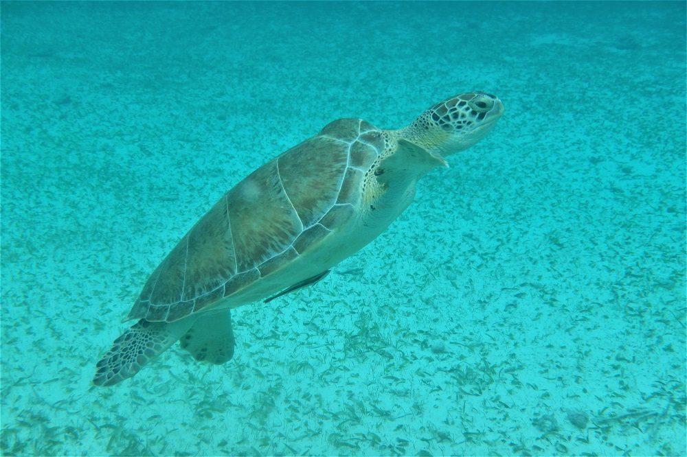 schildpad belize