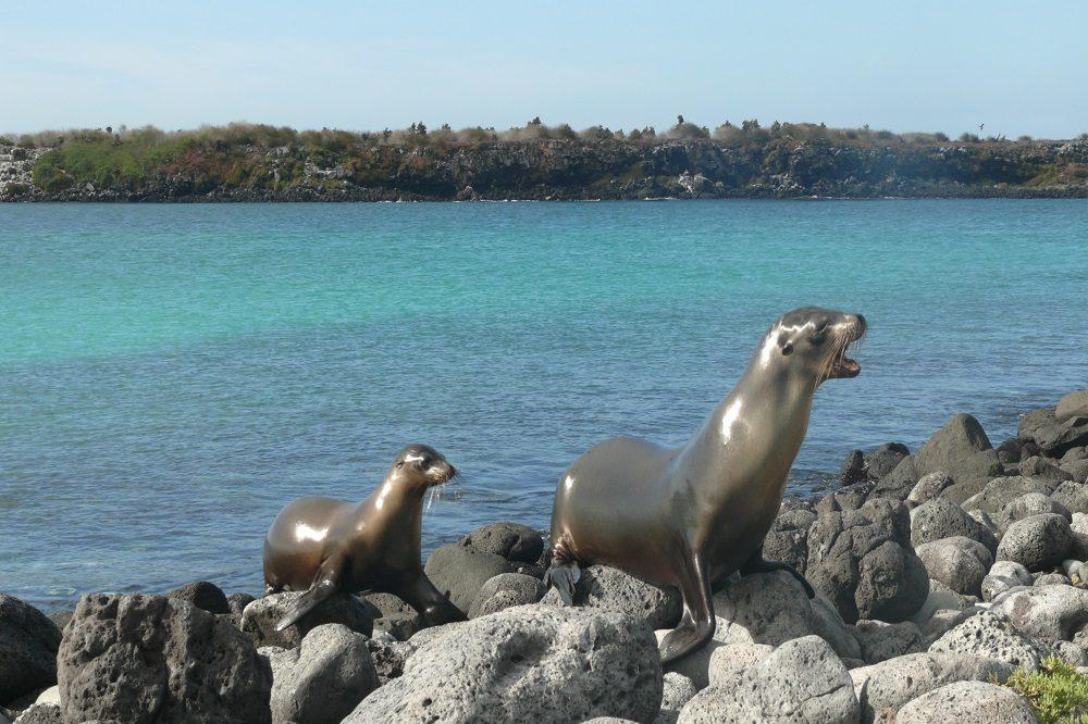 South Plazas sea lions