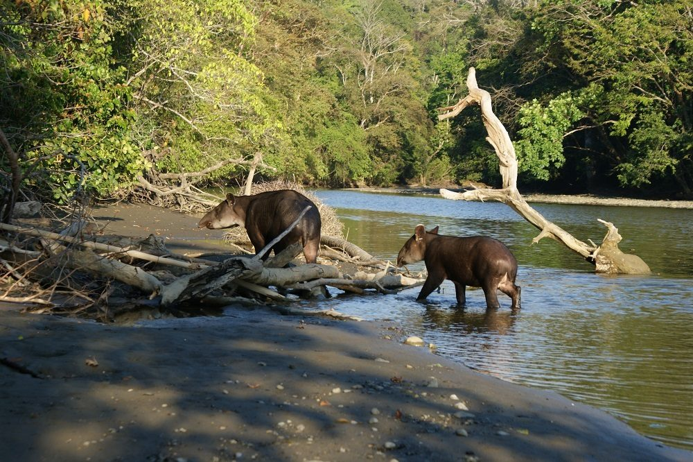 tapir bij Corcovado