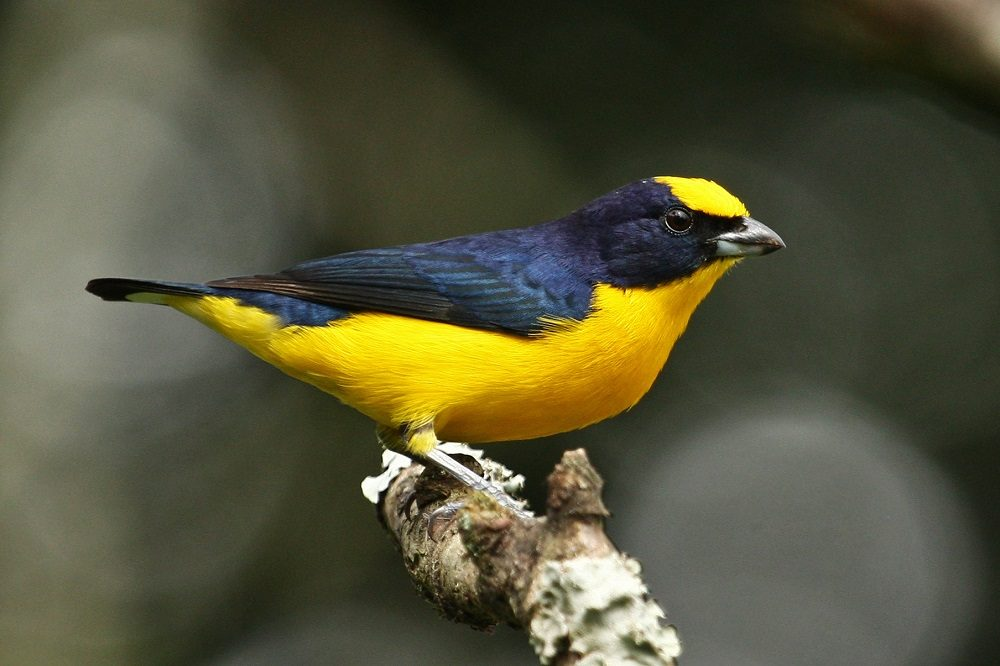 Tinamu - Thick-billed Euphonia