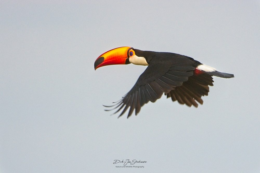 Toco Toucan fotoreis Pantanal