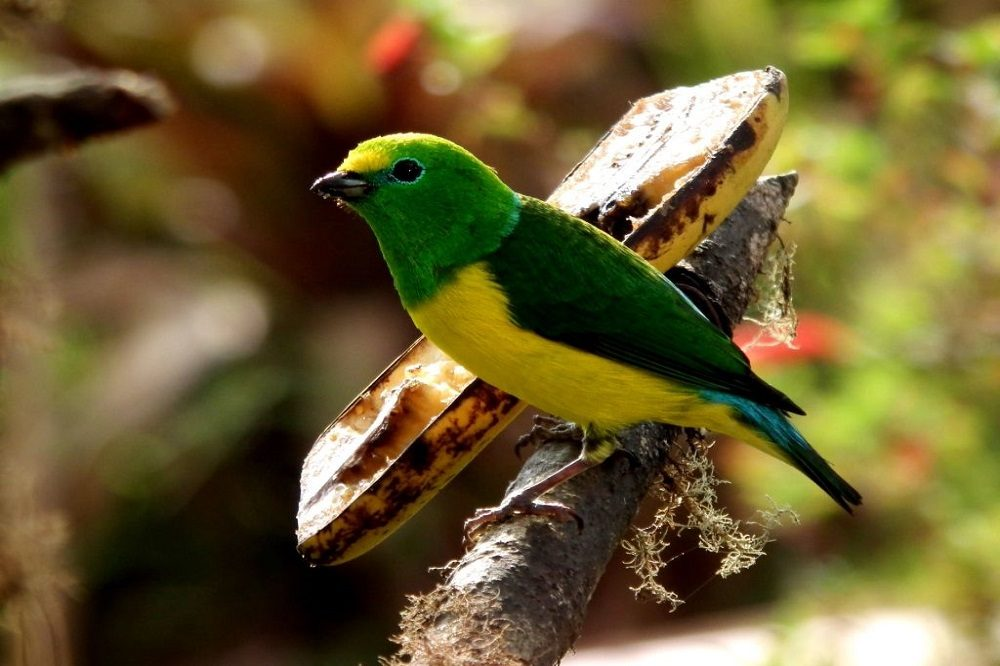 Vogelreis Colombia Blue Naped Chlorophonia