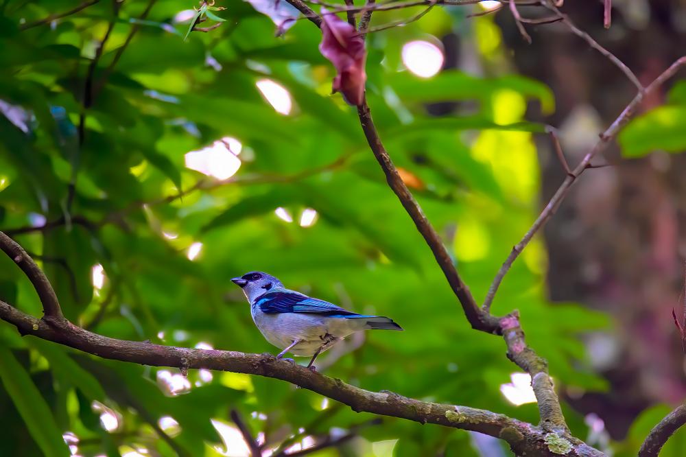 Vogelreis Guatemala Azure rumped Tanager Los Tarrales