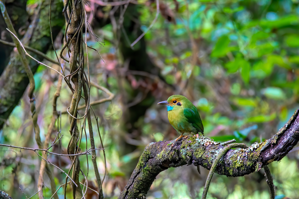Vogelreis Guatemala Blue-throated-Motmot