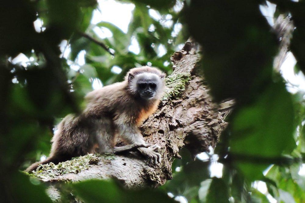 White-footed Tamarin - Rio Claro Reserve