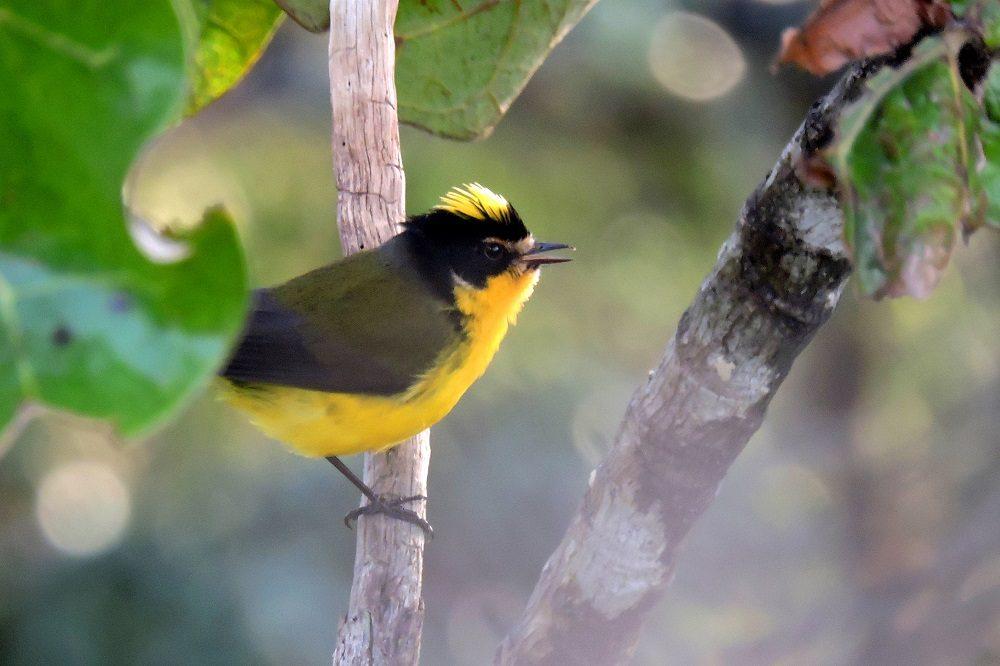 Yellow-crowned Whitestar - Santa Marta vogelreis colombia