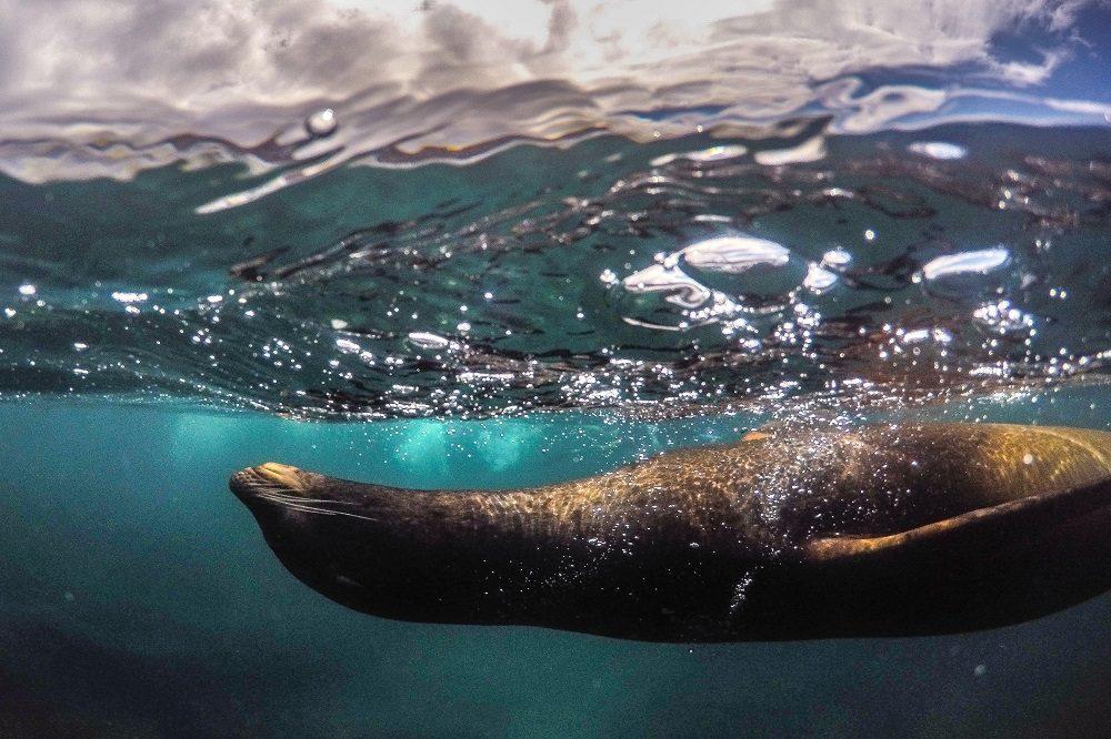Zeeleeuw onderwater