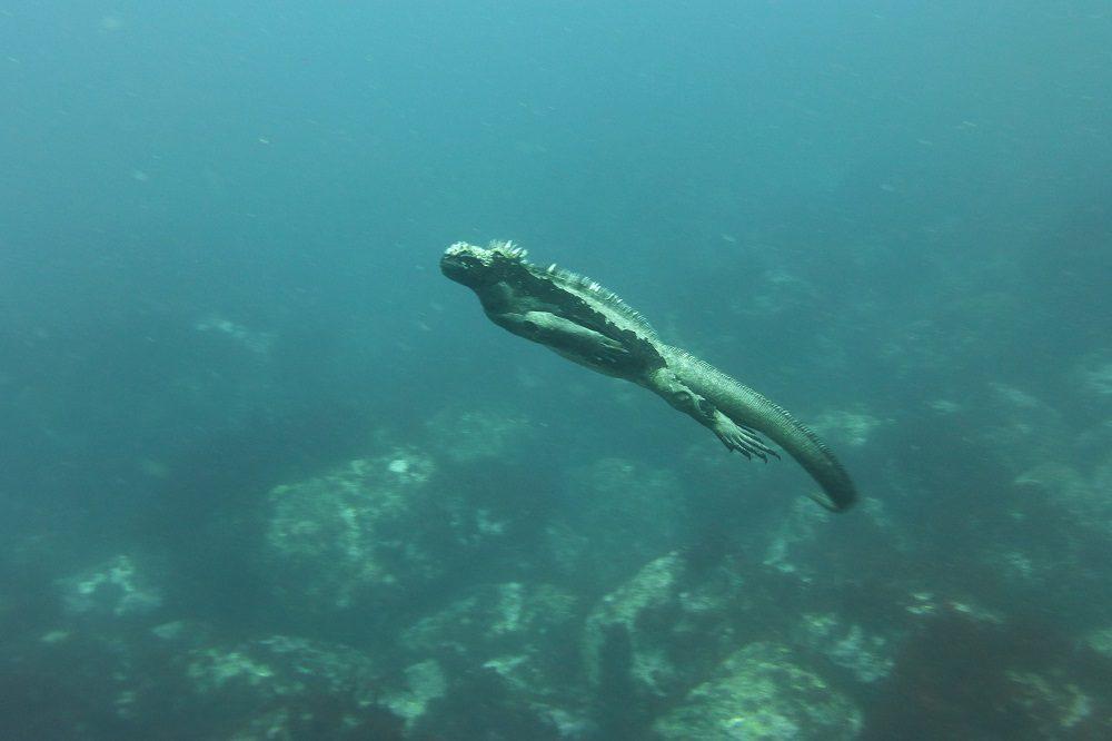 Zeeleguaan Galapagos