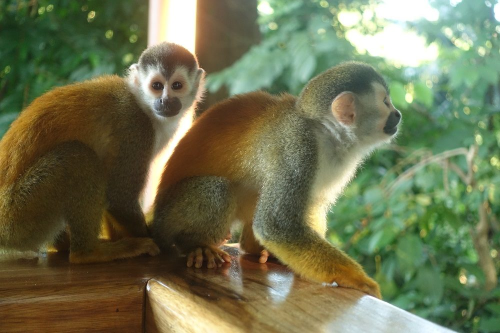 apen costa rica balkon