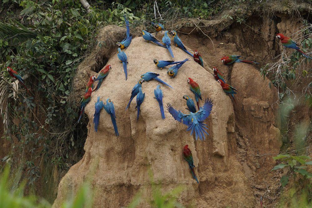 ara's amazone rondreis peru (fotocredits Paulo de Boer)