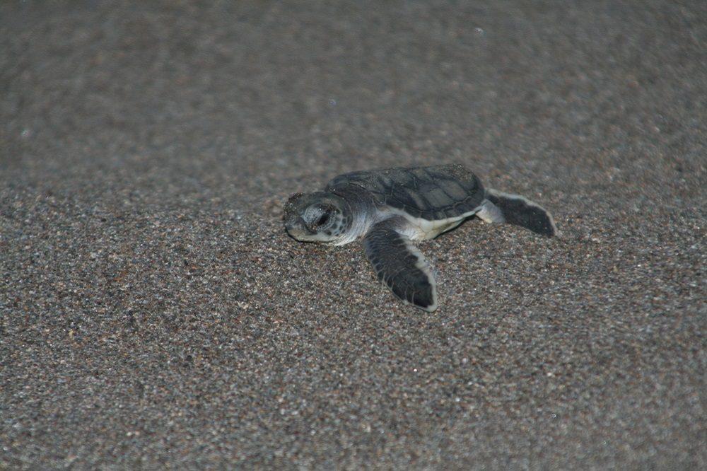 baby schildpad costa rica