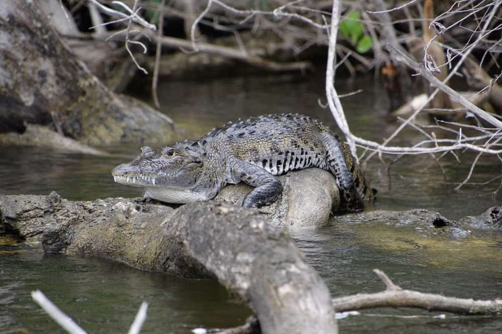 bezienswaardigheden belize krokodil lamanai