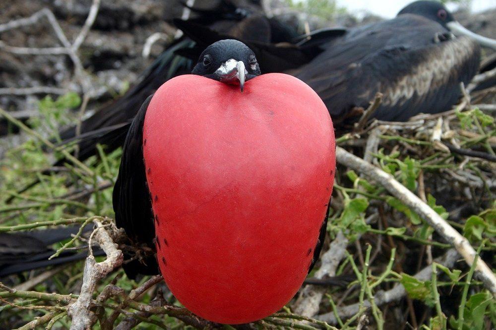 fregat vogel galapagos