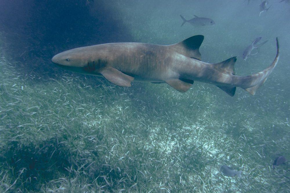 haai duiken belize