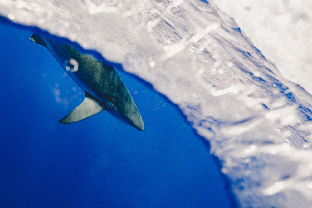 haai galapagos