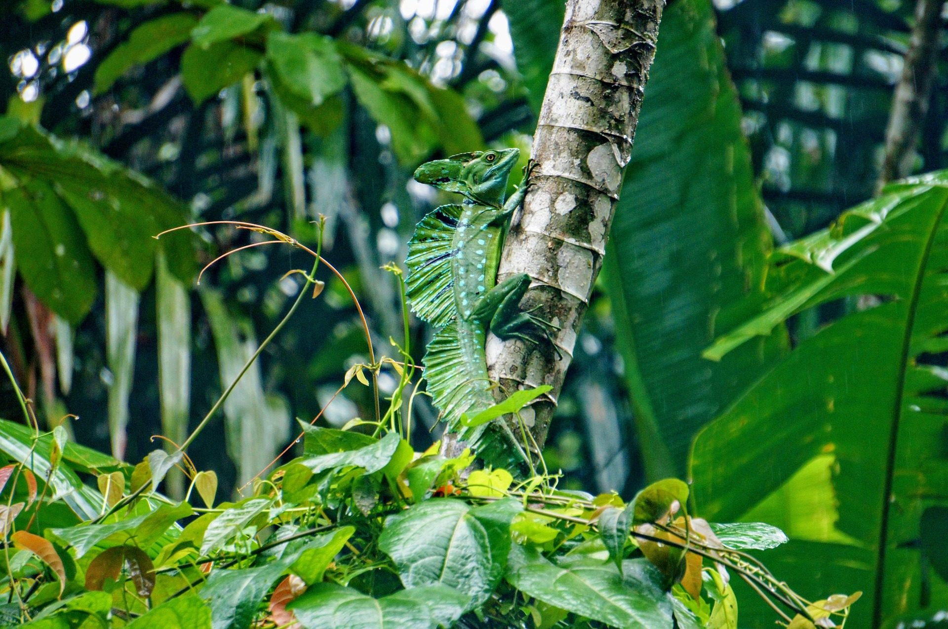 hagedis regenwoud costa rica