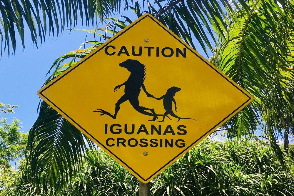 iguana bord belize