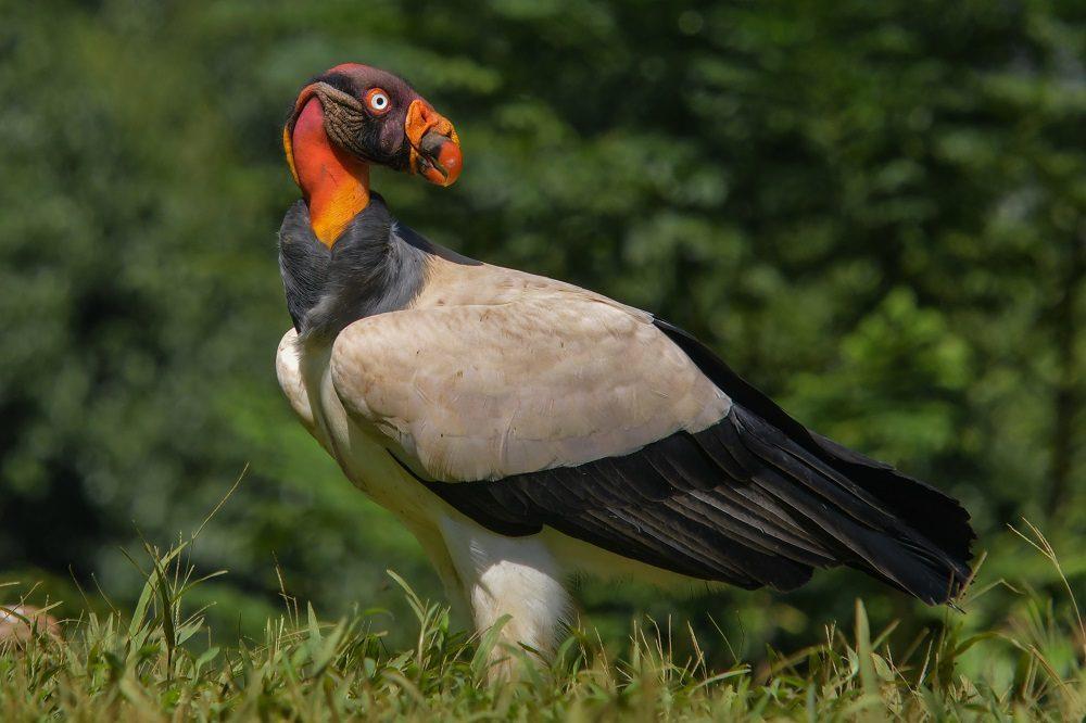 king vulture costa rica fotocredits ruud swinkels