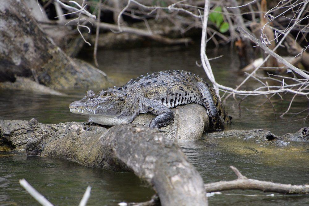 lamanai krokodil