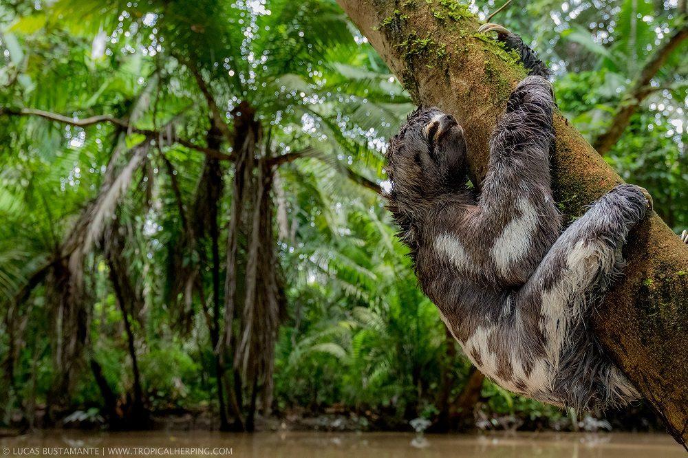 luiaards ecuador amazone
