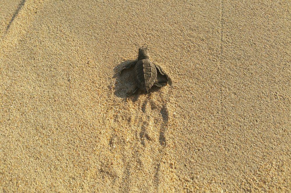 schildpadje puerto escondido
