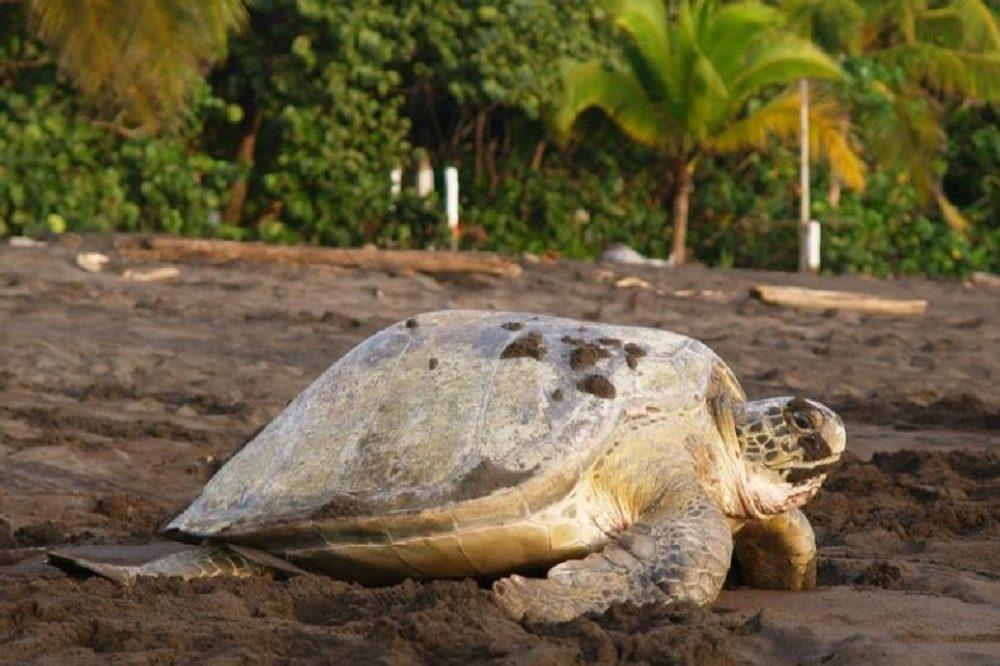 tortuguero schildpad costa rica