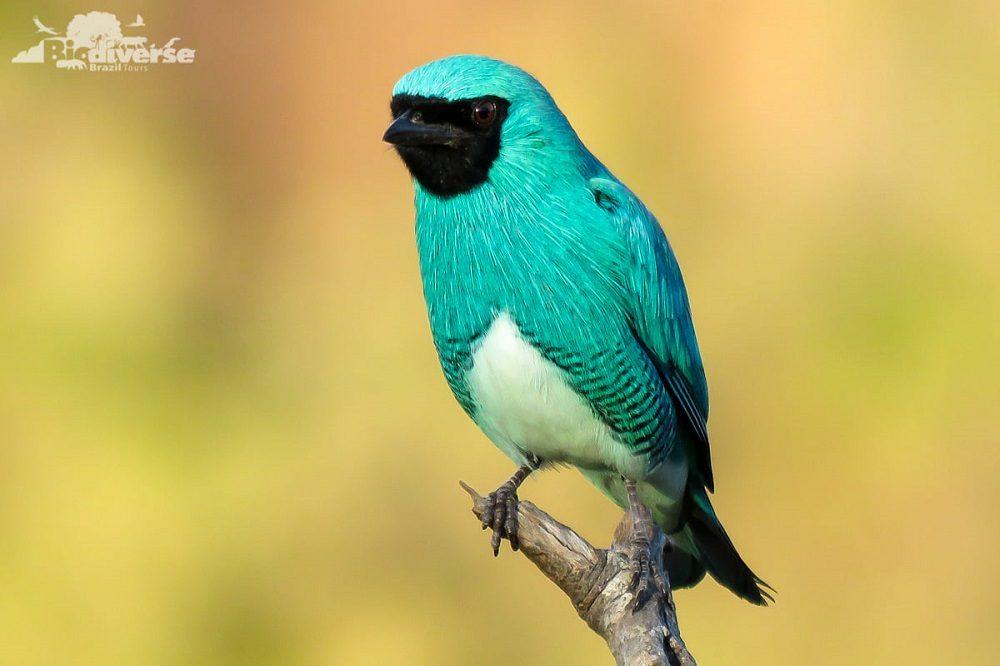 vogel Pantanal