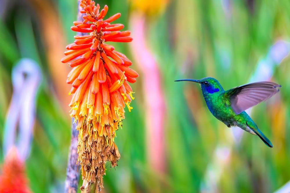 vogelreis guatemala Mexican Violetear_Todos Santos Cuchumatan