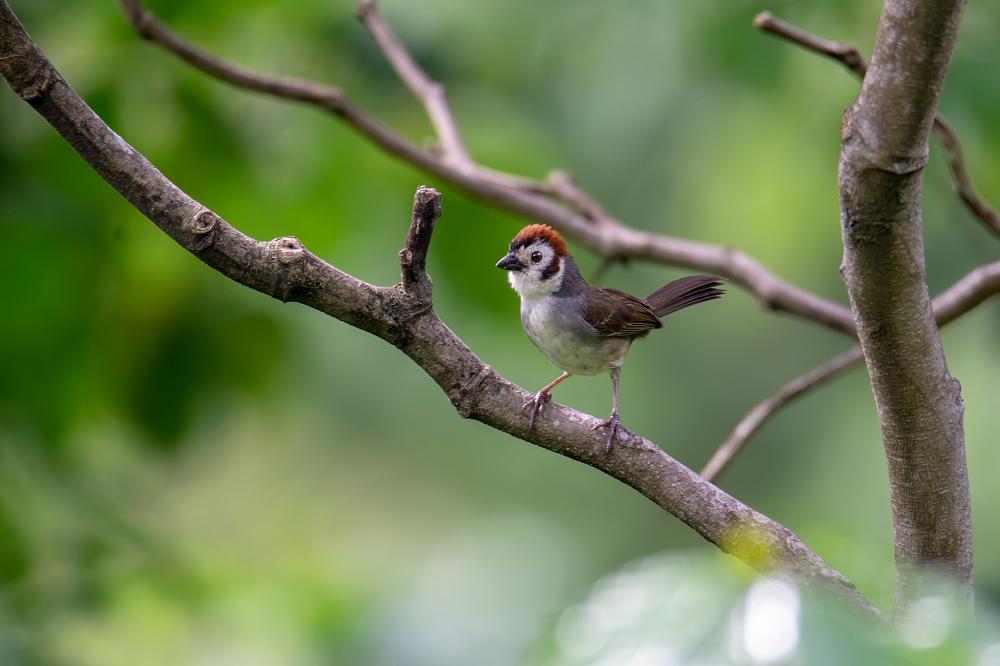 vogelreis guatemala White-faced-Ground-Sparrow_ Volcan San Pedro Lake Atitlan