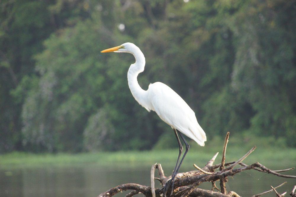 witte reiger cano negro vogelreis costa rica