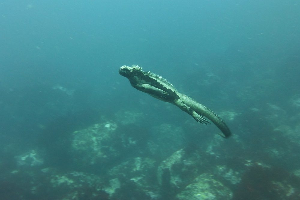 zeeleguaan duikreis galapagos eilanden