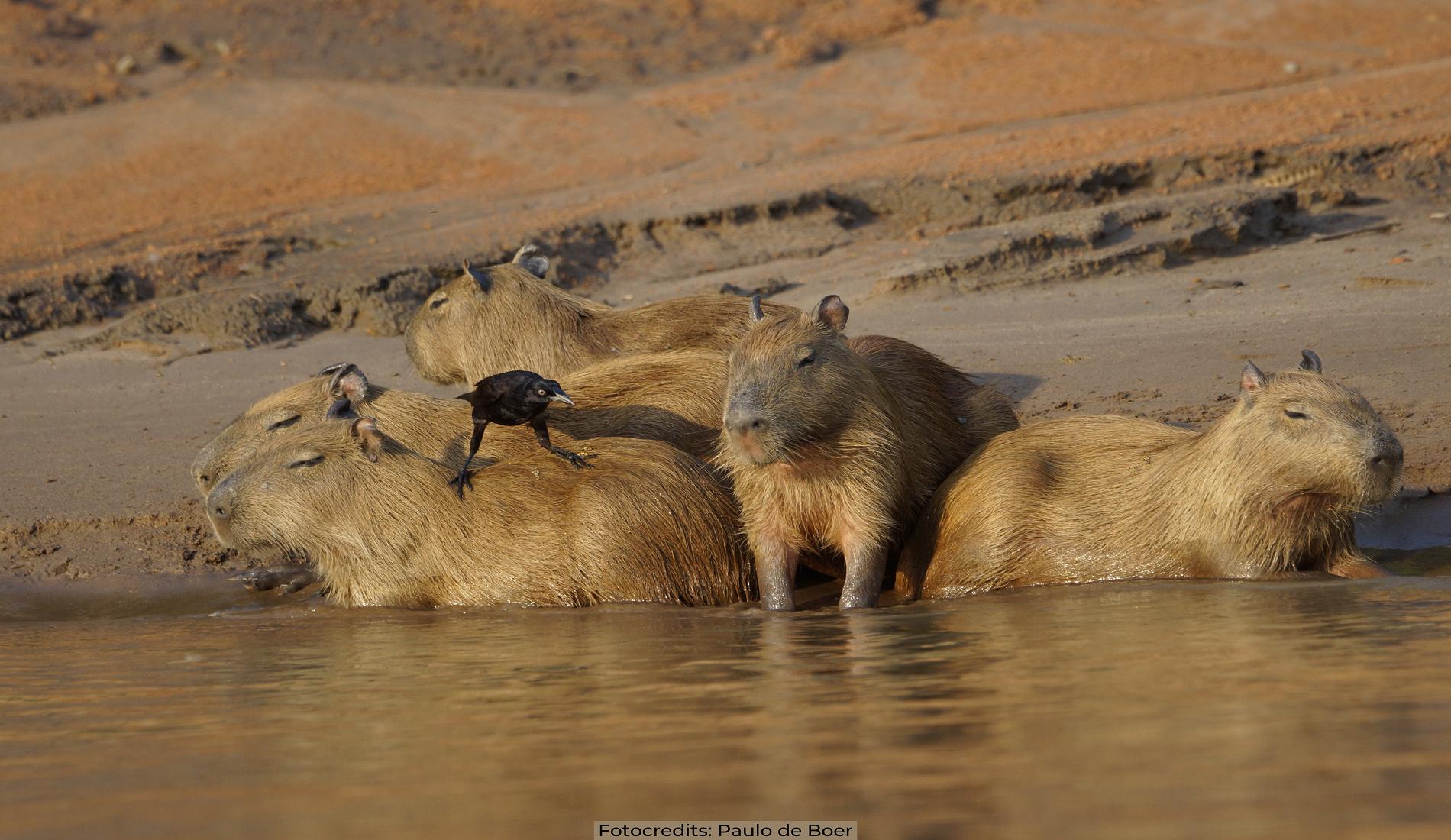 capibaras amazone Paulo de Boer