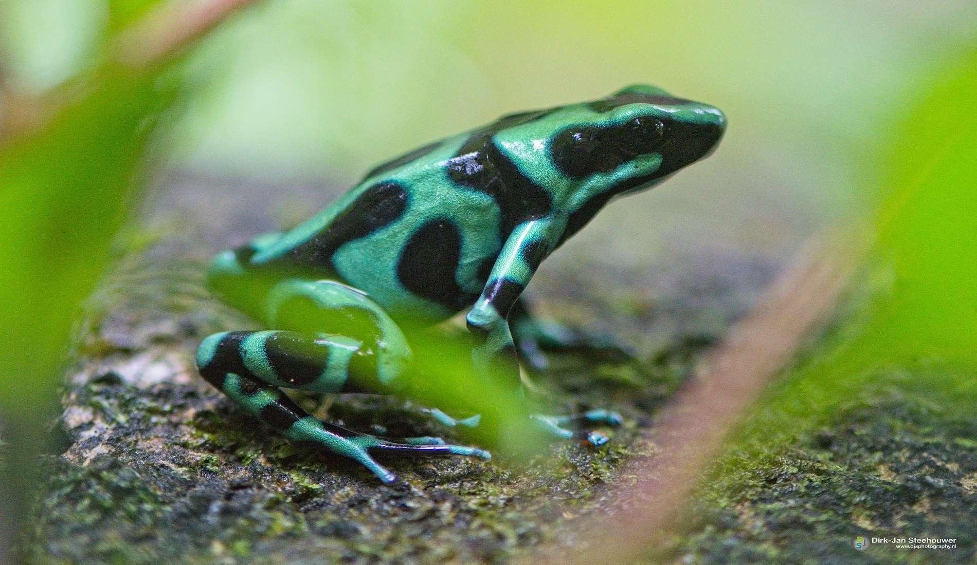 dart frog costa rica