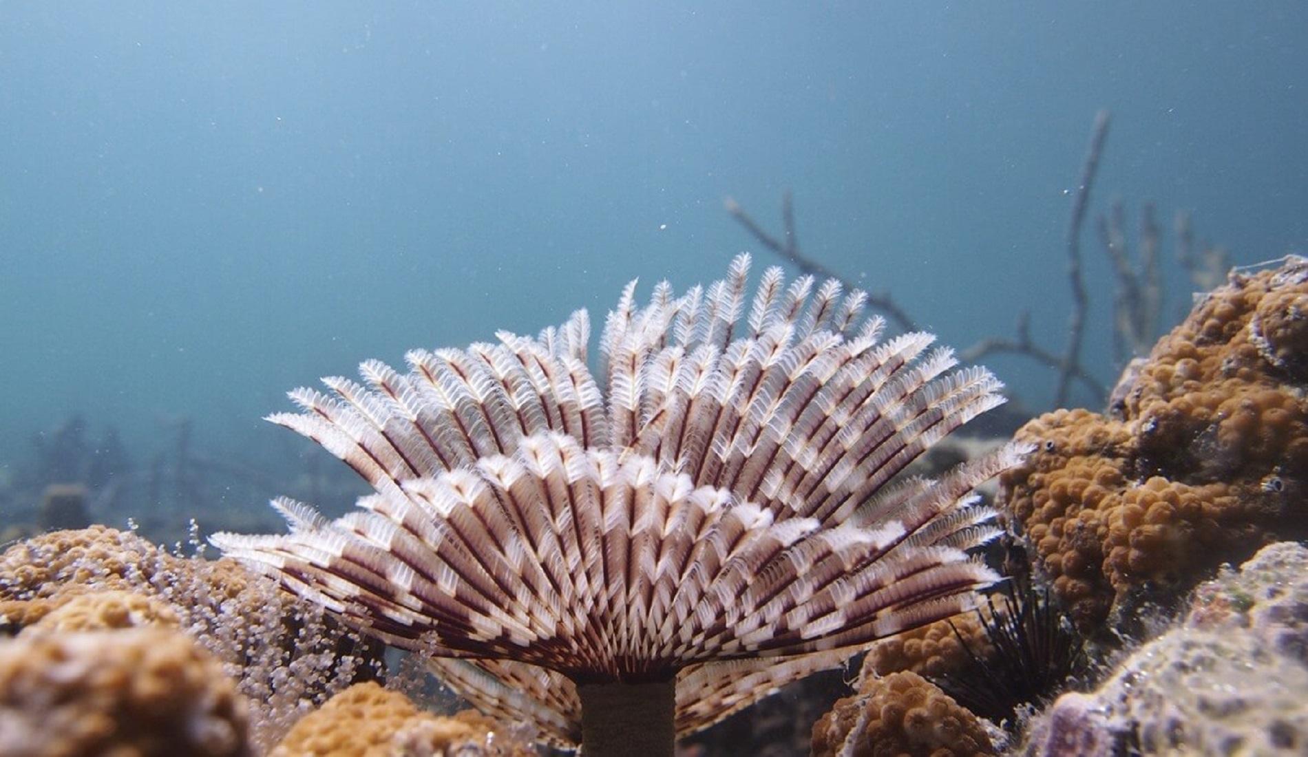 duikreis panama koraal