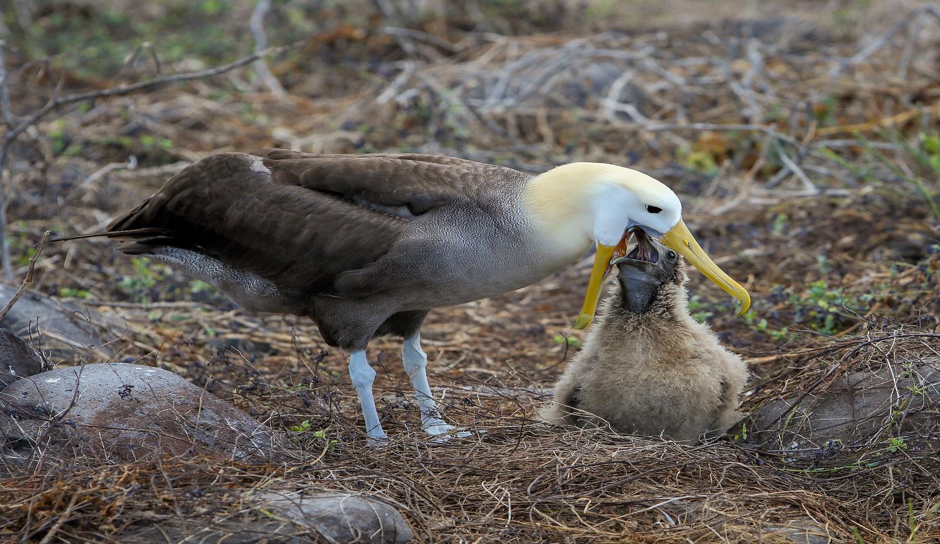eilandhoppen galapagos eilanden albatros