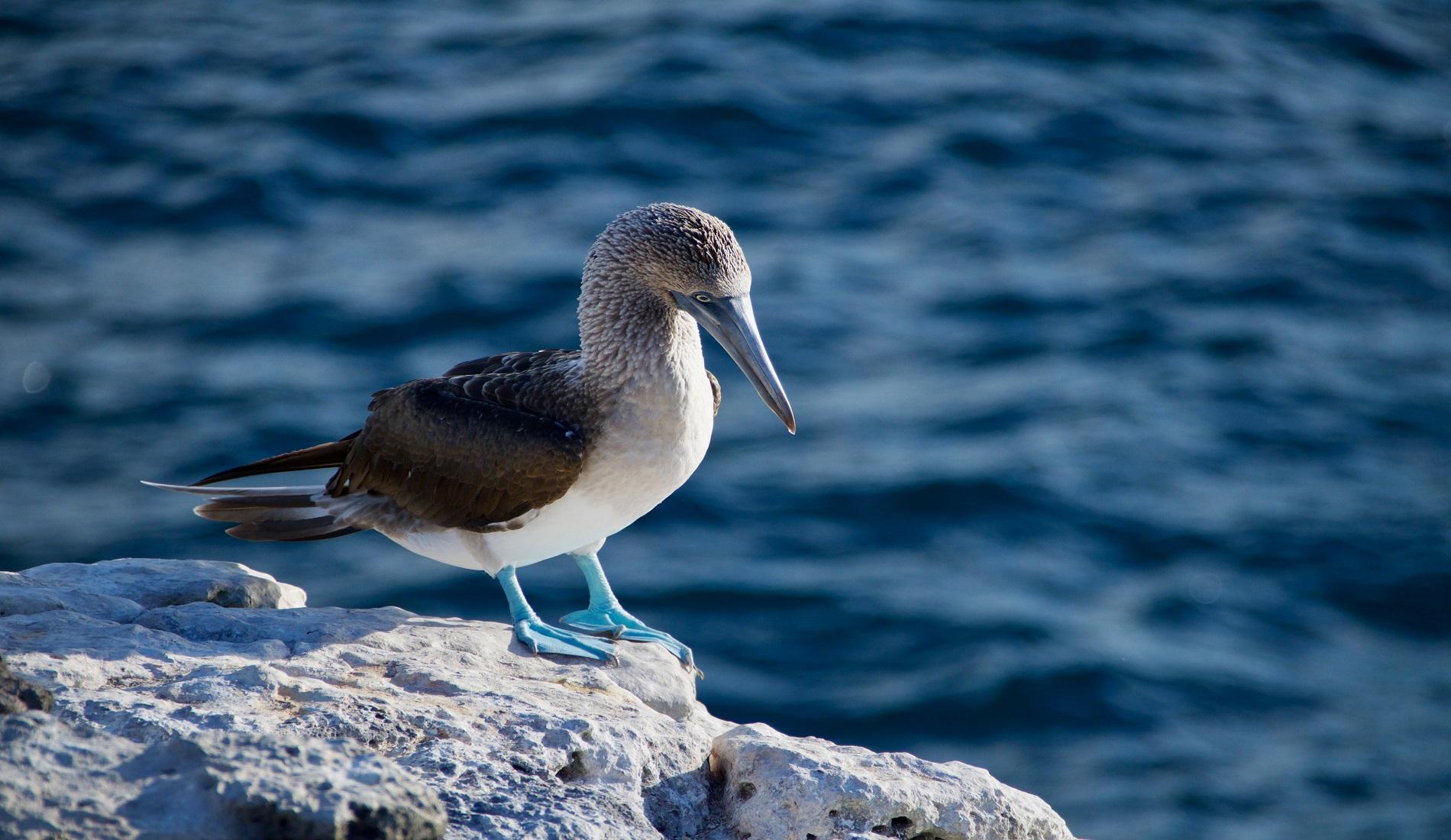 eilandhoppen galapagos eilanden blauwvoetgent