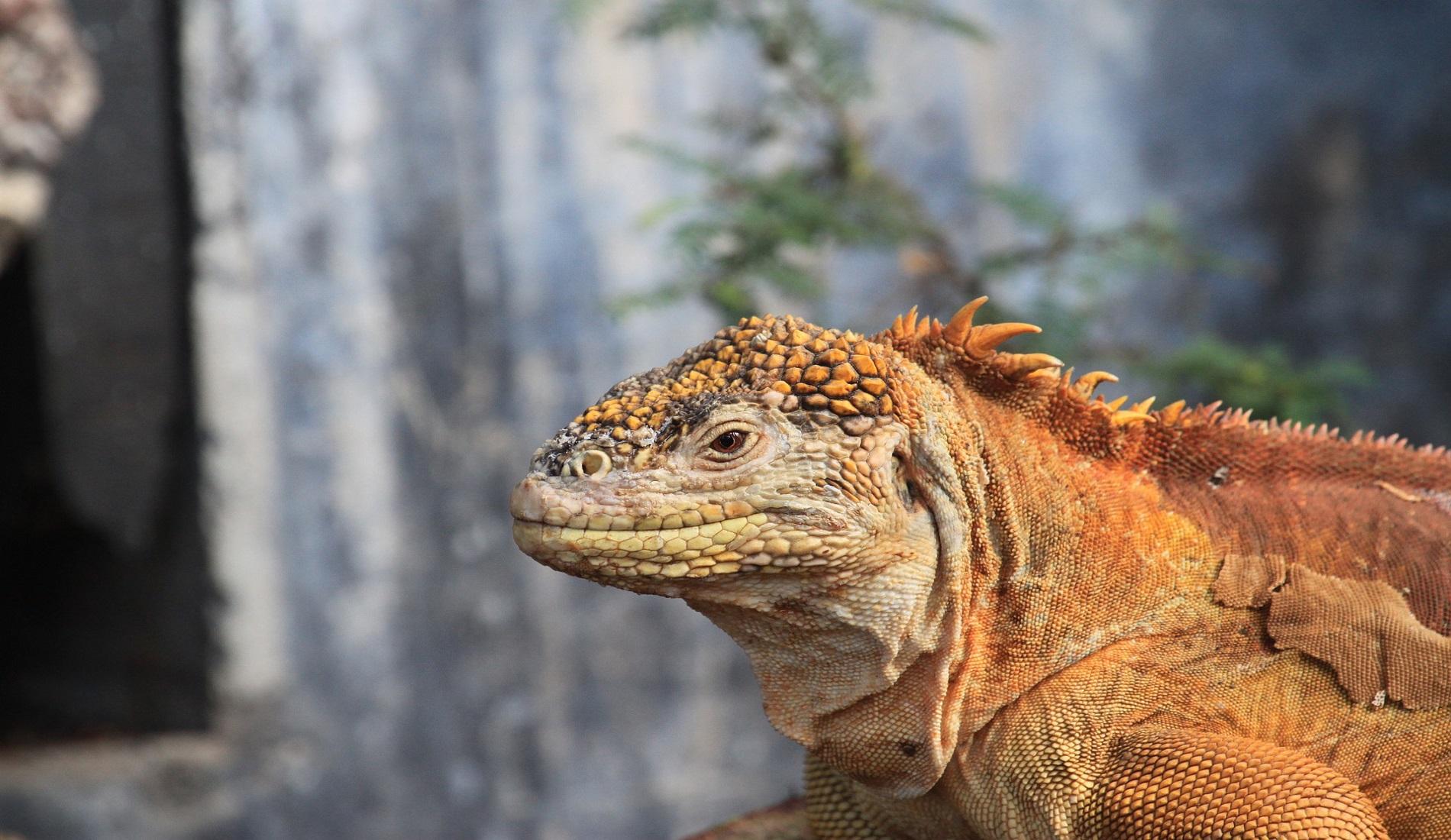 galapagos eilanden leguaan