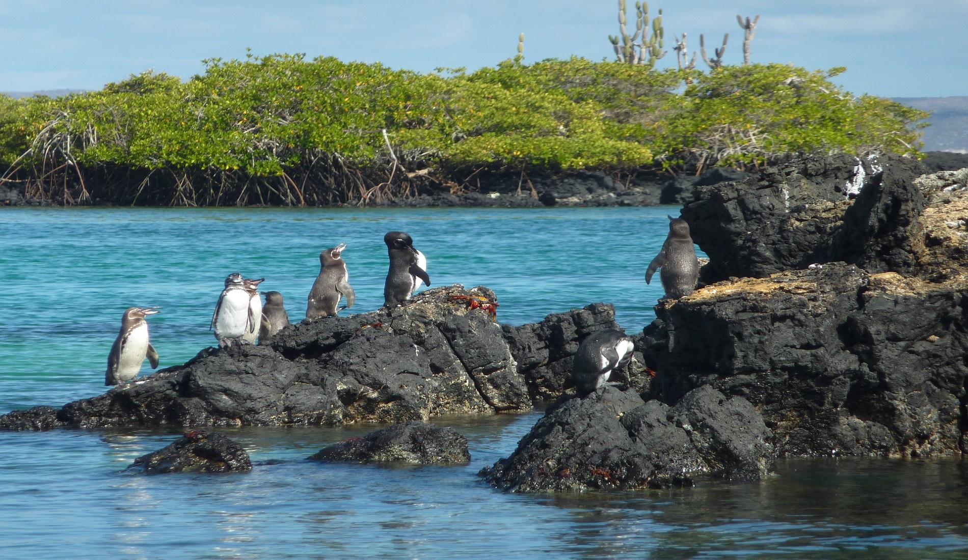 galapagos pinguins