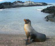 Galapagos zeeleeuw