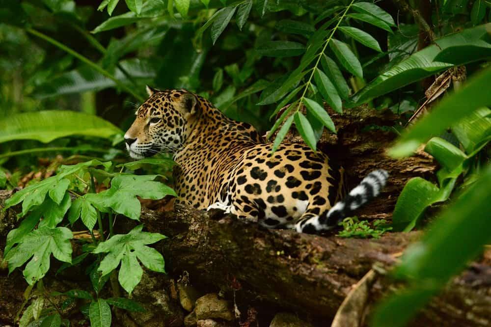 jaguar belize tourism board