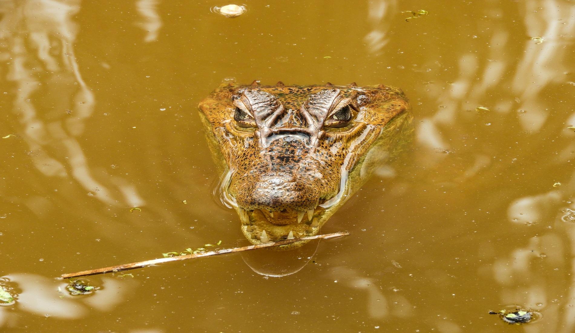 kaaiman amazone (fotocredits ProColombia)