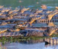 Kaaimannen Pantanal